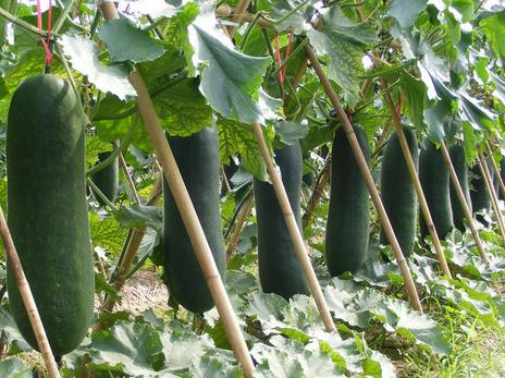 How To Set Bamboo Pole Stakes Of Plant Trellis For Luffa?