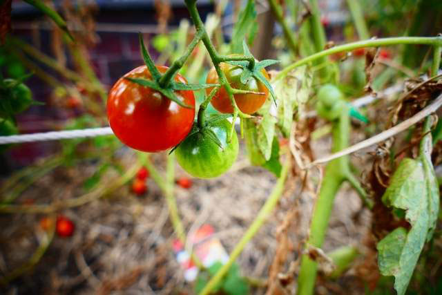 how-to-support-tomato-plants